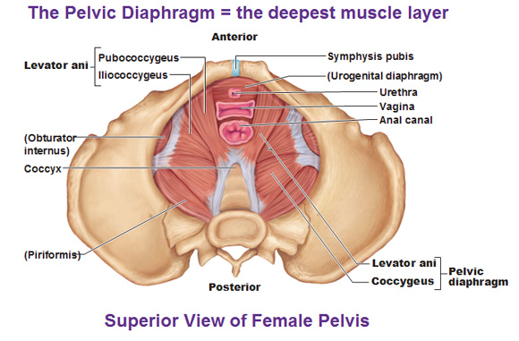 What Is The Pelvic Floor How To Do Pelvic Floor Exercises